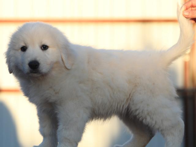 Продаю: щенки мареммы из питомника