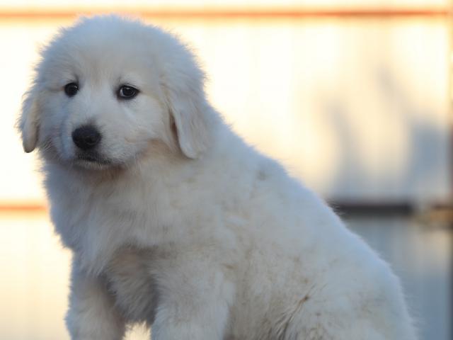 Продаю: щенки мареммы из питомника фото2