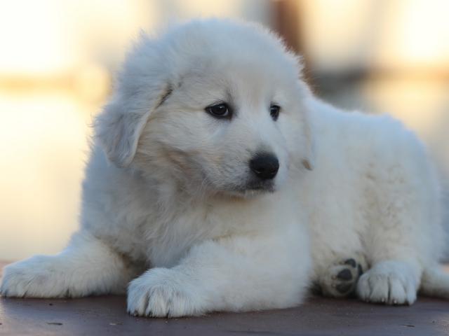 Продаю: щенки мареммы из питомника фото3