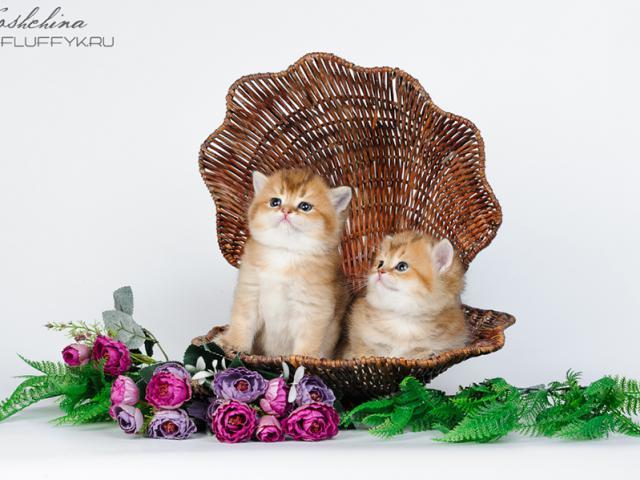 Продаю: Британские котята золотой окрас фото2