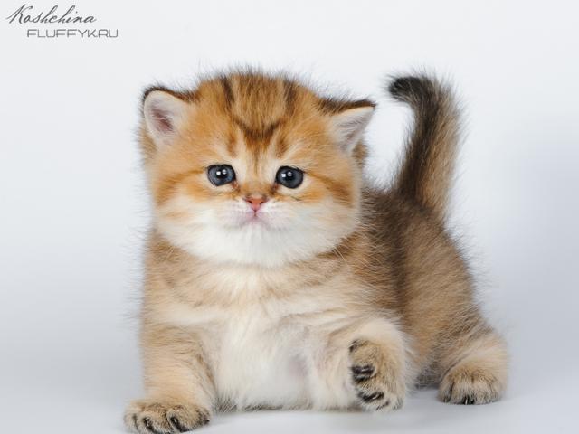 Продаю: Британские котята золотой окрас фото3