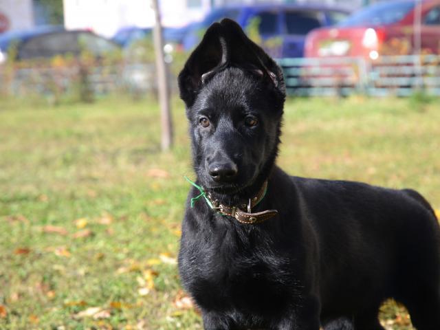 Продаю: Черные щенки овчарки фото3