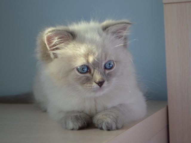 Продаю: Котенок Джонатан фото2