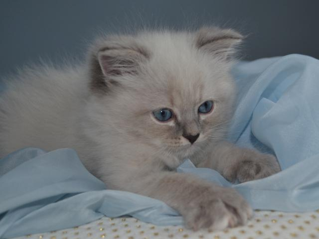 Продаю: Котенок Джонатан фото3