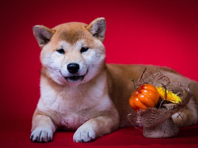 Продаю: щенок Сиба-ину, девочка фото2
