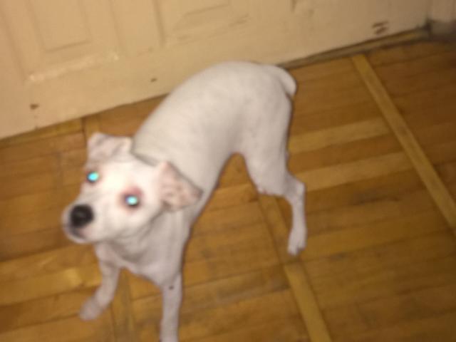 Отдам в дар: отдам маленькую породистую собачку фото2