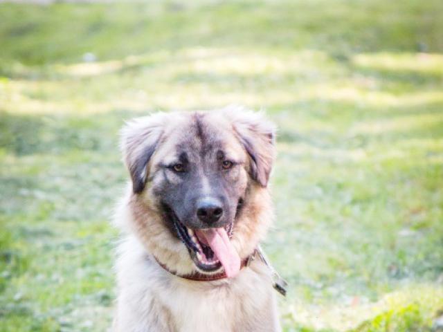 Отдам в дар: Красивейший пес Чибис в добрые руки фото3
