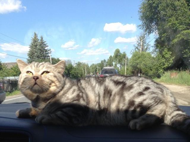 Потерялся/Нашелся: Потерялся кот член семьи