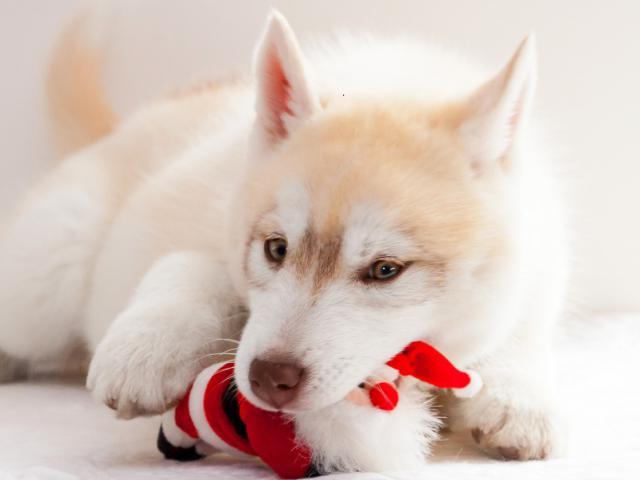 Продаю: тся щенки Сибирский Хаски