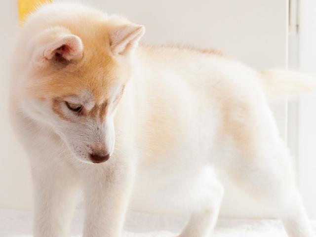 Продаю: тся щенки Сибирский Хаски фото2