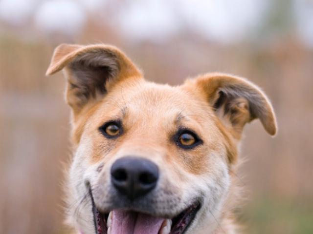 Отдам в дар: Чудесная собака Сенди в добрые руки фото2