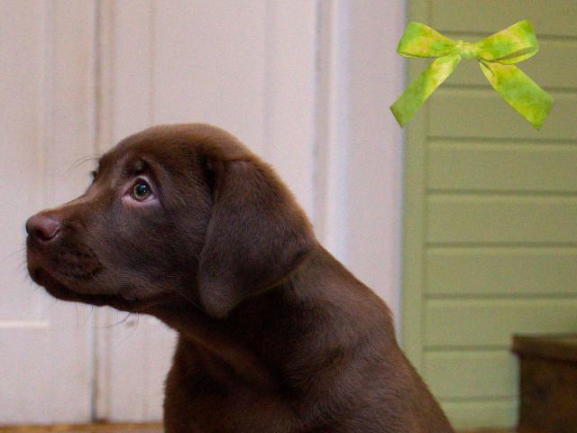 Продаю: Шоколадные щенки лабрадора Питомник фото2
