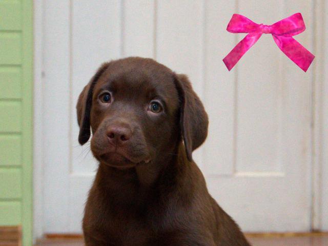 Продаю: Шоколадные щенки лабрадора Питомник фото3