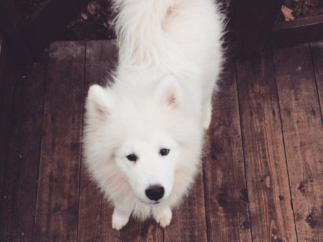 Продаю: Лайка-самоед, замечательный выставочный щенок фото2