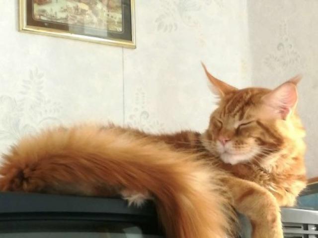 Вязка: Шикарный крупный кот ищет даму для вязки