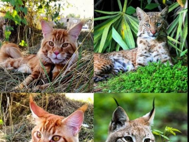 Вязка: Шикарный крупный кот ищет даму для вязки фото2