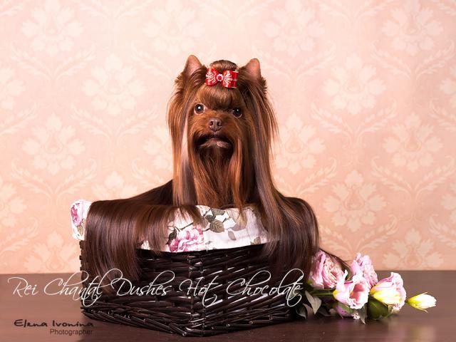 Вязка: Шоколадный йоркширский терьер вязка