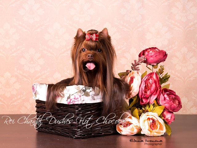 Вязка: Шоколадный йоркширский терьер вязка фото2