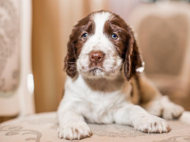 Продаю: щенки спрингер спаниеля фото2