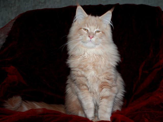 Продаю: Котята мейн кун Есть котики и кошечки разных окрас