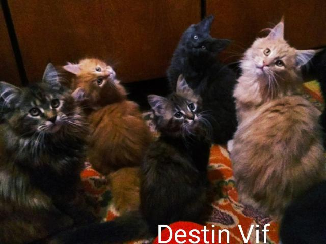Продаю: Котята мейн кун Есть котики и кошечки разных окрас фото3