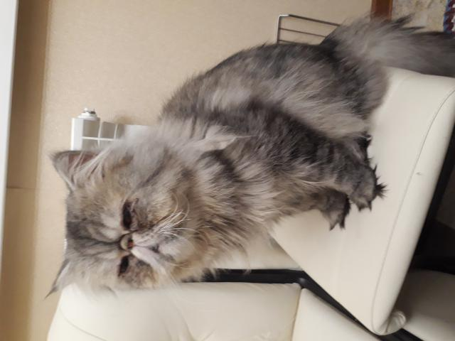 Отдам в дар: Отдам персидского кота