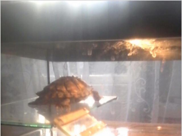 Отдам в дар: черепахи красноухие в дар