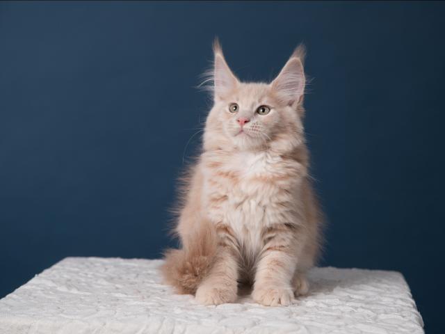 Продаю: великолепные котята