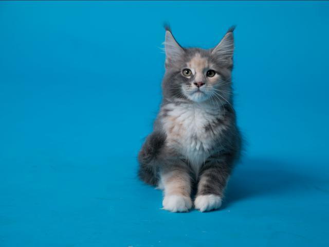 Продаю: великолепные котята фото3
