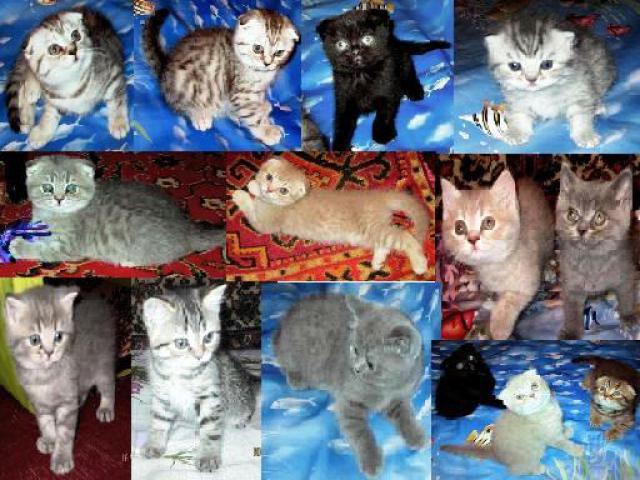Продаю: британские и шотландские котята из питомника