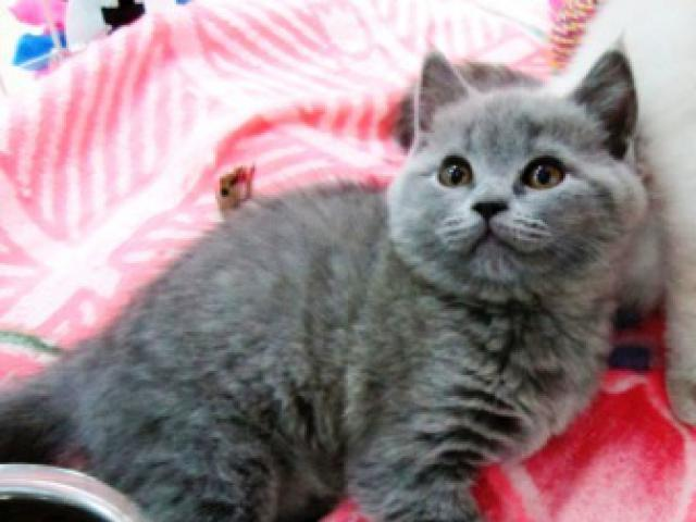 Продаю: британские и шотландские котята из питомника фото3