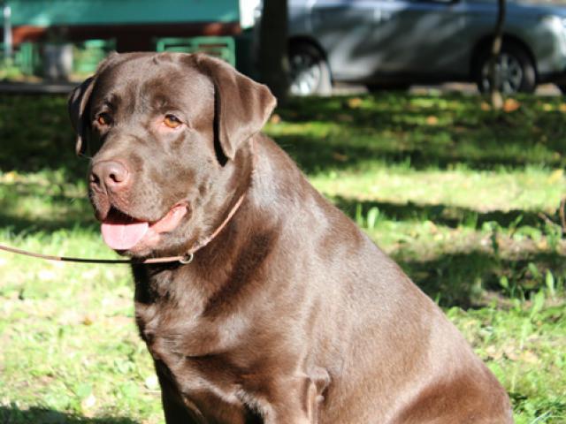 Вязка: Лабрадор — шоколадный кобель для вязок