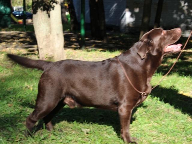 Вязка: Лабрадор — шоколадный кобель для вязок фото2