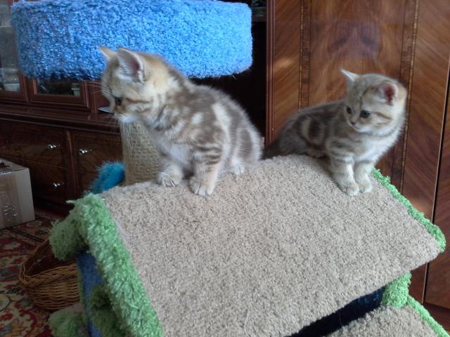 Продаю:  котят фото3