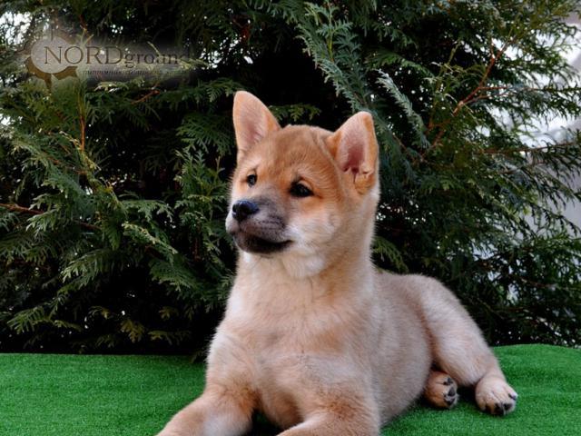 Продаю: тся щенки Сиба-ину фото2