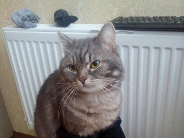 Потерялся/Нашелся: Пропал домашний кот  фото2