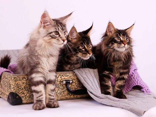 Продаю: Котята Добрых великанов