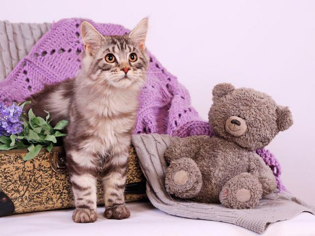 Продаю: Котята Добрых великанов фото2