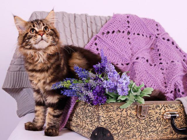 Продаю: Котята Добрых великанов фото3