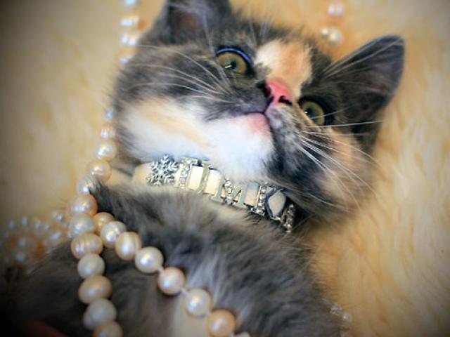 Отдам в дар: Котенок с паспортом и приданым