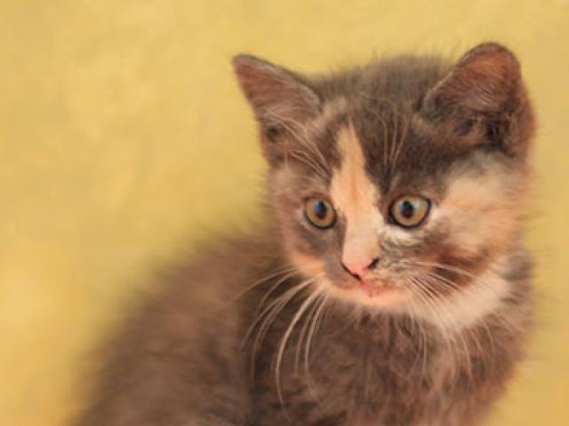 Отдам в дар: Котенок с паспортом и приданым фото3