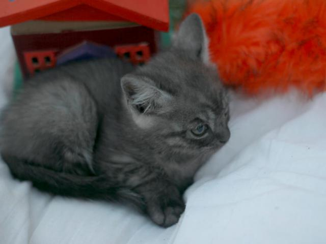 Отдам в дар: Котенок в добрые руки фото3