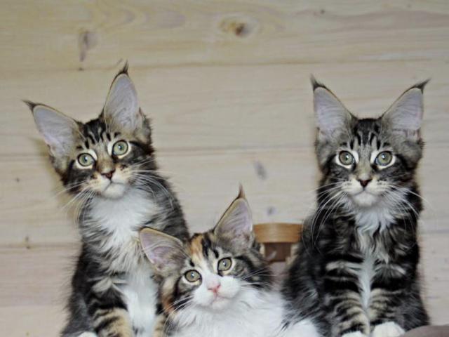 Продаю: мейн-кун котята