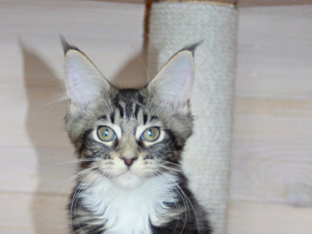 Продаю: мейн-кун котята фото2