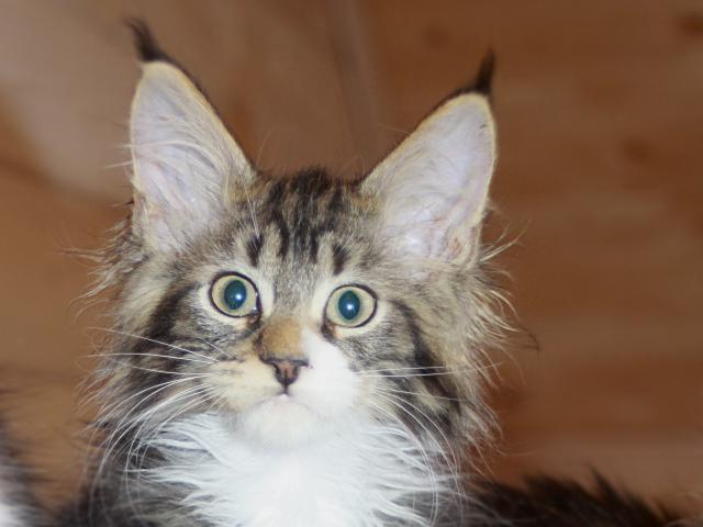 Продаю: мейн-кун котята фото3
