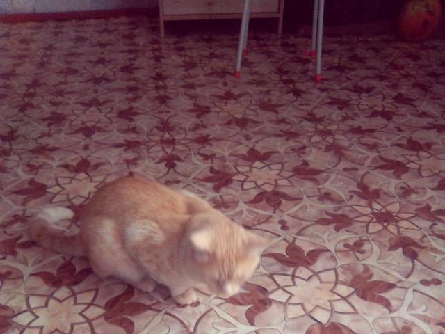 Отдам в дар: Отдам кота шотландца в добрые руки 3 года Не кас фото2