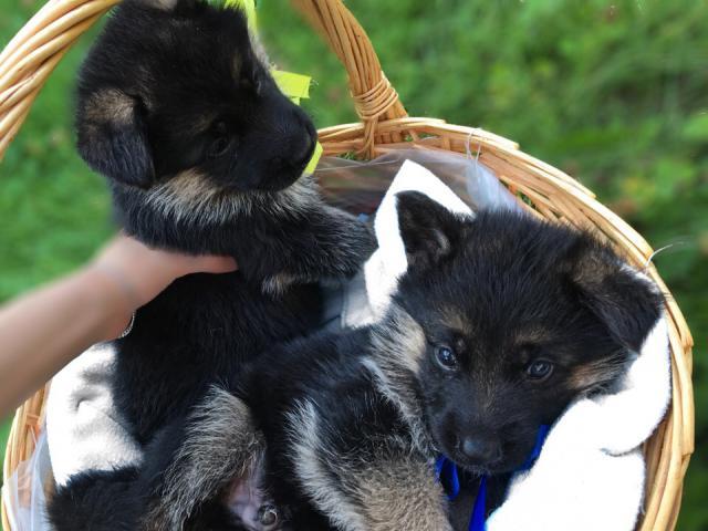 Продаю: продаются щенки немецкой овчарки питомник
