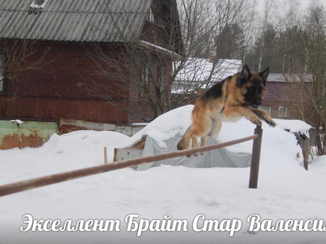Продаю: продаются щенки немецкой овчарки питомник фото3