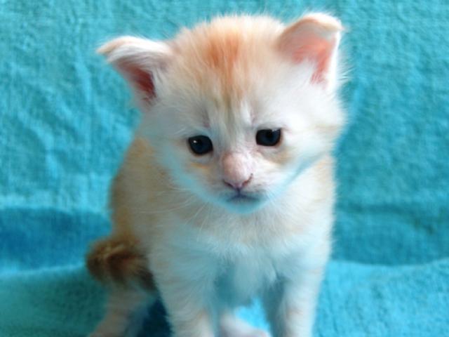 Продаю: Серебряные котята мейн кун