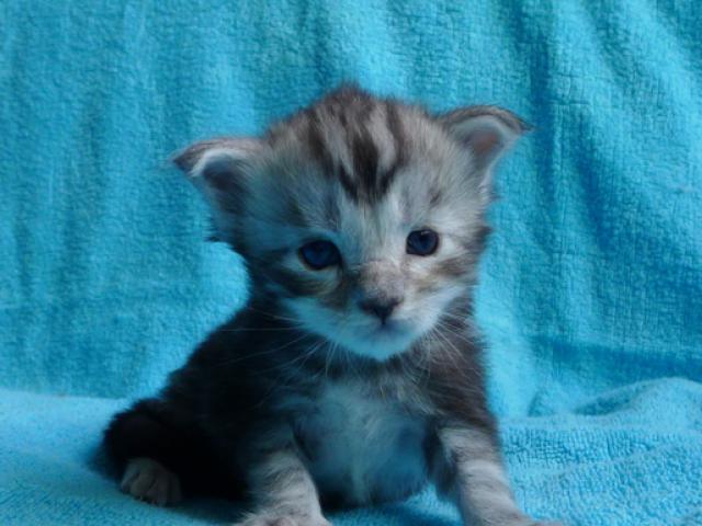 Продаю: Серебряные котята мейн кун фото2